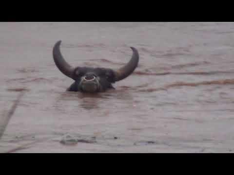 Rio Pardo transborda e boi desaparece na enchente em Ipuiuna.