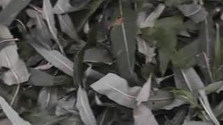 Как сделать чай из Кипрея узколистного (