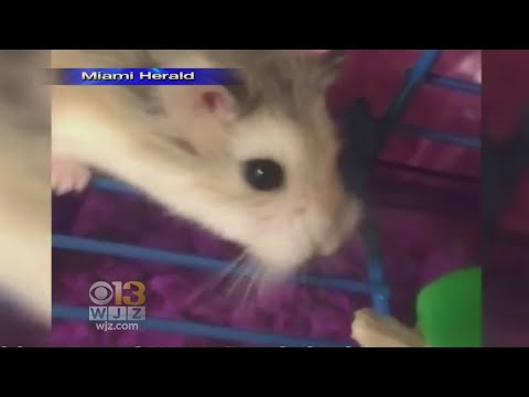 Florida Woman Says Airline At BWI Airport Told Her To Flush Pet Hamster