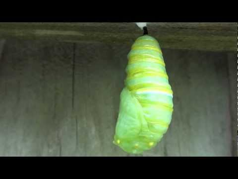 Monarch Butterfly Transformation: Caterpillar to Chrysalis