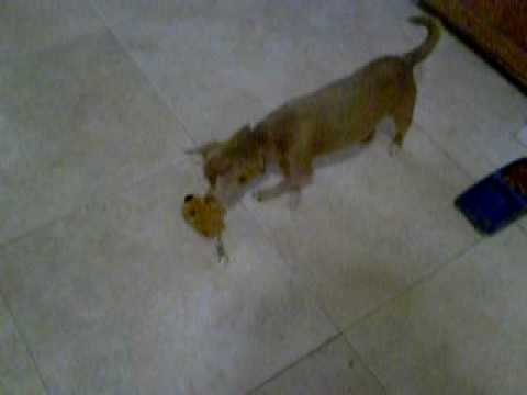 Diego and Kiboko Present: Morrie the Crazy Chihuahua