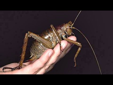 bugs - 10 Giant Bugs Beetles as big as dogs and tarantula hunting wasps both feature amongst these 10 incredibly huge bugs. Music = The Bogey Man's Night Out by Ric...