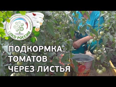 Внекорневая подкормка томатов. Как подкормить помидоры через листья.