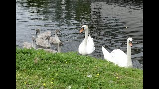 Whole Family of Swans Hissing at Me!