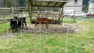 Video Cows Discover Electric Fence MP3, 3GP, MP4, WEBM, AVI, FLV Juli 2017