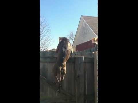 Ten sierściuch ma nerwy ze stali! Pitbull ninja kontra wyluzowany kot :D