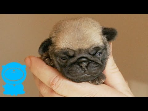 Adorable Pug Puppy As Small As Your Hand