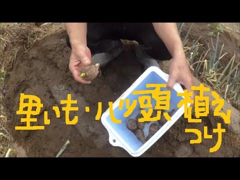 家庭菜園 里芋と八つ頭芋の植え付け スイカの生育状況 敷き藁代用品は?