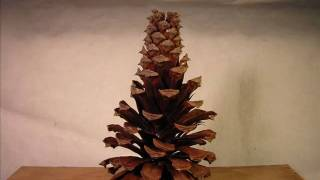 Wet Pinecone Time Lapse