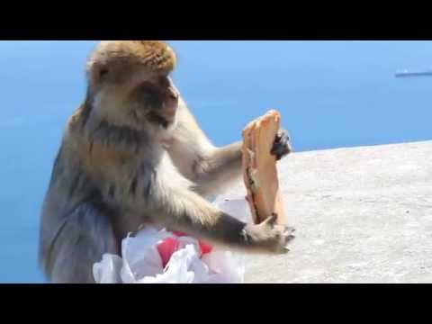 Monkey Steals Sandwich