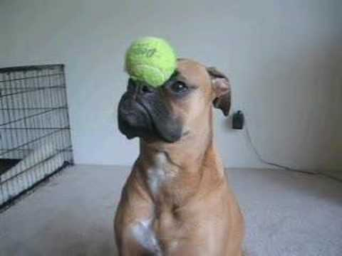 Super Boxer Dog – balances funny stuff!