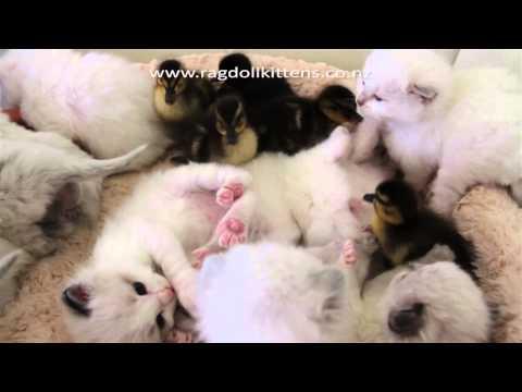 Kittensyoutube on Kittens En Kuikens Spelen Samen   Snuffelknuffel