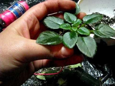 how to replant a african violet