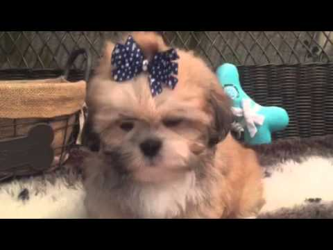 Teddy bear face, Lhasa Apso puppy