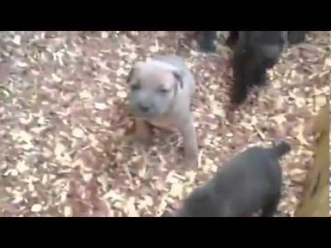 Fermentino female Puppy