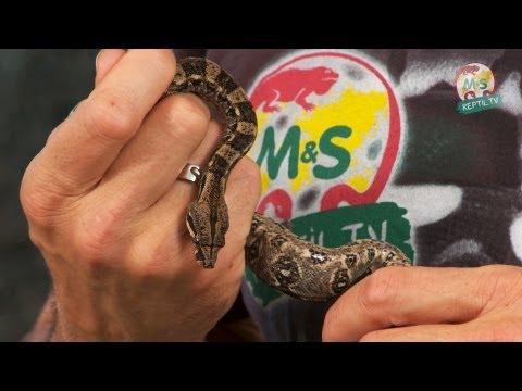 Reptil TV - Folge 53 - Abgottschlange / Boa c. constrictor / Boa c. imperator - Teil 2