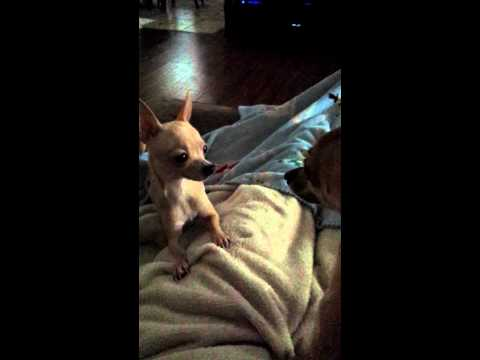 Gizmo & Princess .mp4. Miniature Chihuahua