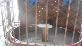 Cách nuôi chim Sơn Ca - Muabansvc.com (HD)