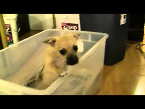 Chihuahua Puppy don't want to potty