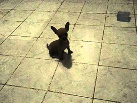 Video cachorro chihuahua minitoy de bolsillo