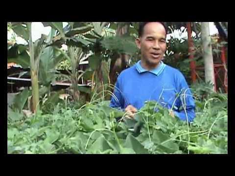การปลูกผักตำลึงที่บ้านหนองฮี