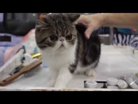 All About the Exotic Shorthair Cat Breed