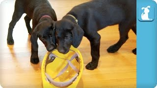 Construction Worker Lab Puppies - Pupp ...