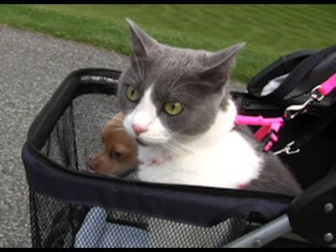 Strolling with Tommy the Chihuahua & Gracie the Cat