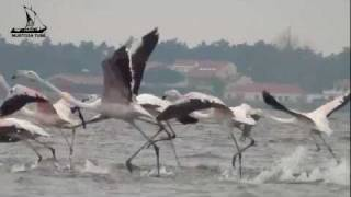 Murtosa Portugal  city images : Birdwatching. Flamingos (Pheonicopterus roseus) na Ria de Aveiro (Murtosa - Portugal).