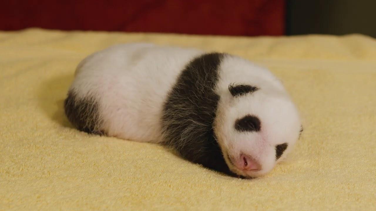 Видео с новорожденной пандой набирает популярность в Сети