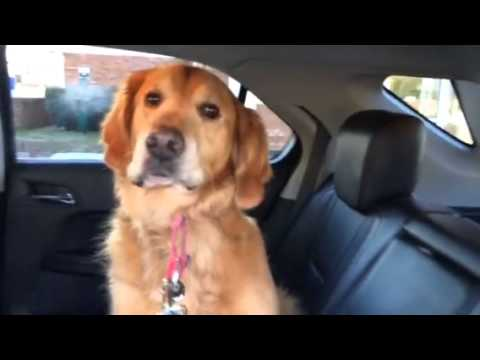 Smart Golden Retriever knows he is at the Vet