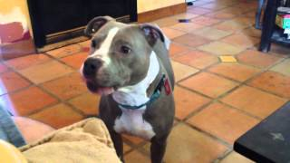 Queenie - Pit Bull Terrier / Mixed Dog For Adoption