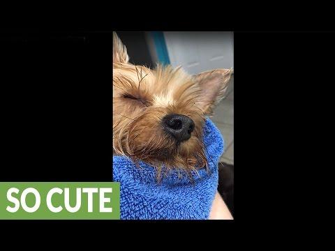 Ιδιοκτήτης νανουρίζει τον σκύλο του για να κοιμηθεί