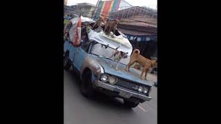 animale cainii pe masina