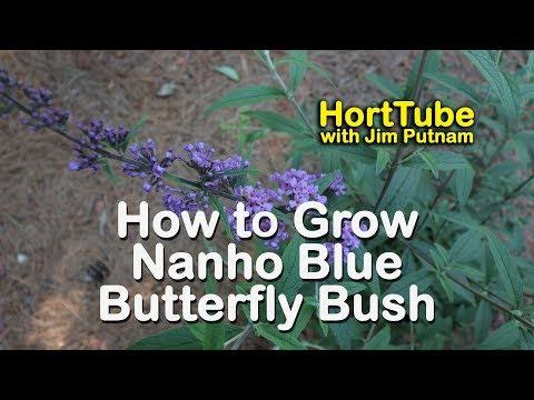 How to grow Nanho Blue Butterfly Bush - Blue Butterfly Magnet