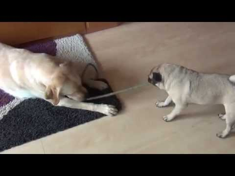 labrador vs carlino!