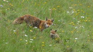 La famille de renards dans une prairie remarquable