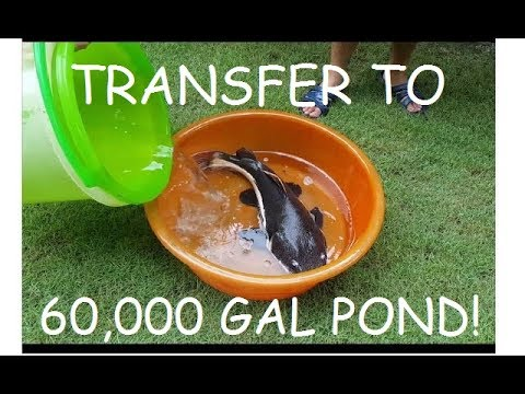 Part 3: Moving MONSTER FISH 60,000 GALLON POND!