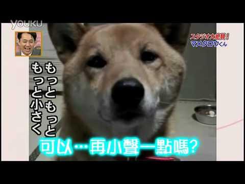 這隻被主人要求不要叫那麼大聲的柴犬,調低聲量的過程讓大家笑翻了!