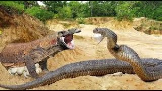 PRIMITIVE BOY SAVES KOMODA DRAGON  FROM PYTHON ATTACK MOST AMAZING MOST AM WILDM ANIMAL ATTACK