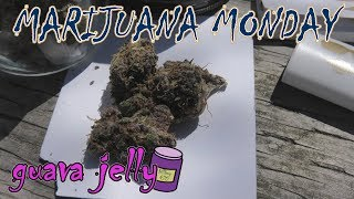 Guava Jelly Marijuana Monday by Urban Grower