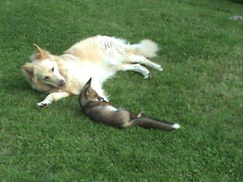 cane-adotta-una-volpe-27