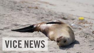地球温暖化の影響はここにも? 座礁し続けるアシカの子供たち