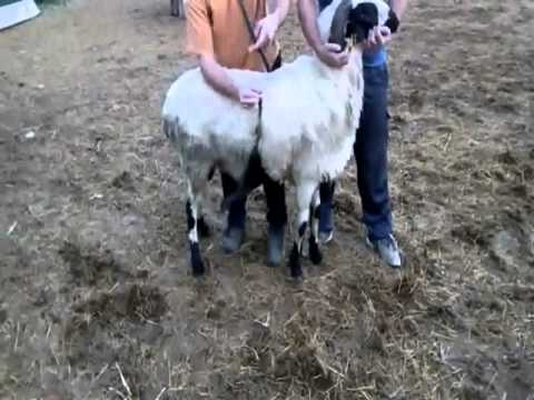 Άρμεγμα Χιώτικου Πρόβατου στα Αρμεκτήρια Chiosheep.gr
