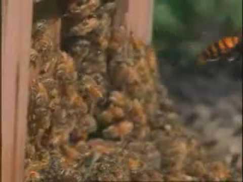 30 hornets vs. 30000 bees