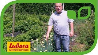 Die Winter Heckenzwiebel Allium fistulosum