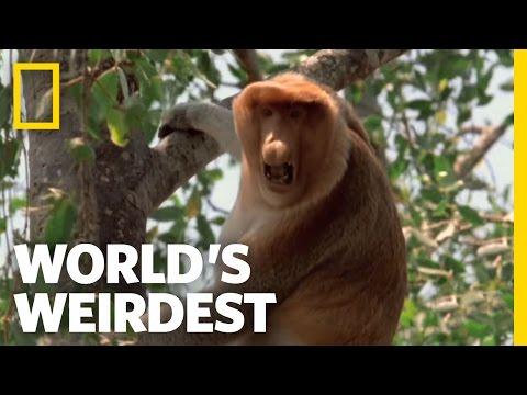 Video Proboscis Monkeys   World's Weirdest download in MP3, 3GP, MP4, WEBM, AVI, FLV January 2017