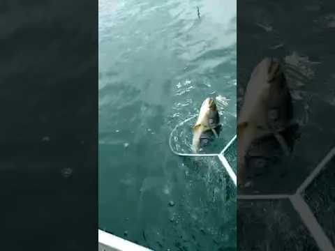 Pesca de Tucunaré em Rubinéia/Santa Fé do Sul/Santa Clara D'Oeste