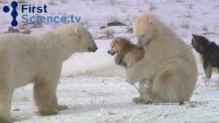Herunterladen video youtube - Polar bears and dogs playing