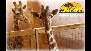 Nonton April the Giraffe Cam - Animal Adventure Park Film Subtitle Indonesia Streaming Movie Download